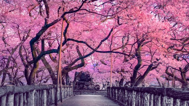 Hanami: l'arte di guardare la bellezza dei fiori di ciliegio
